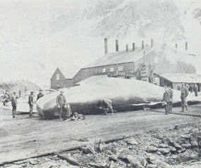 Starting on a Sperm whale - 1916