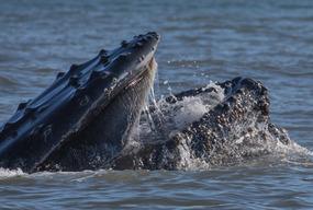 HUMPBACK Whale, with baleen, feeding time!