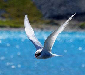 ARCTIC TERN - AMAZING LITTLE BIRD!