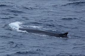 FIN WHALE: dorsal fin