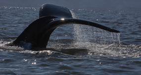HUMPBACK Whale - diving