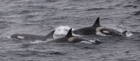 Orcas (Killer whales)