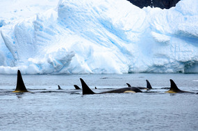 ORCAS AMONG THE BERGS...