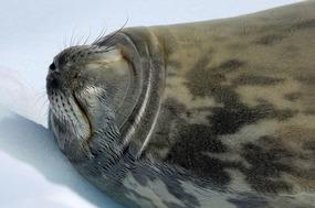 WEDDEL SEAL TAKING A SNOOZE...