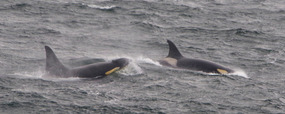 More ORCAS here...