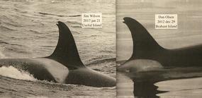 DAN OLSEN ORCAS-2