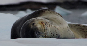 SMILING LEOPARD SEAL: WHO HAS HE JUST EATEN?!