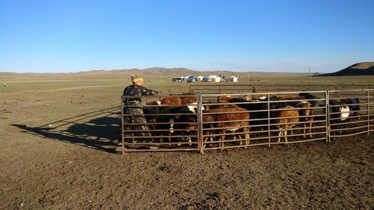 Calf corral