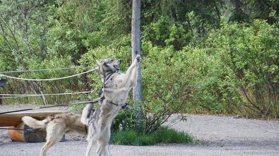 Denali--Dog Sled Demo