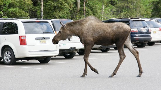 Denali--Moose in parking lot