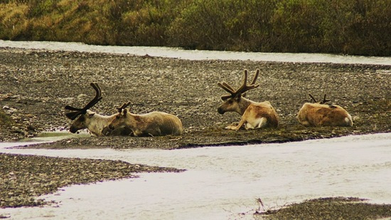 Denali--Savage River--Caribou