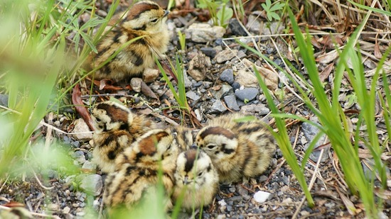 Denali--Savage River--Ptarmigan chicks
