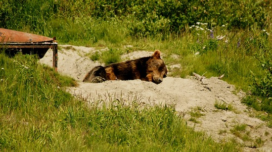 Alaska Wildlife Conservation Center-Grizzly