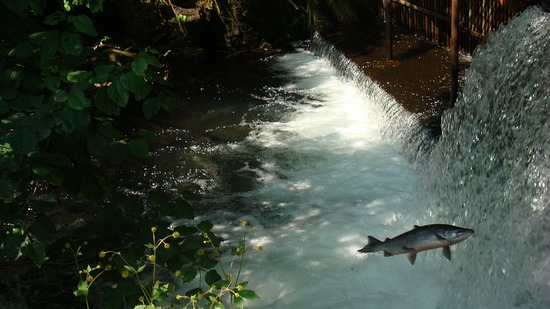 Salmon Jumping - Bear Creek Weir