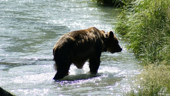 Chilkoot River - Young Grizzly