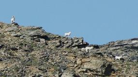Denali--Savage River walk Dall Sheep