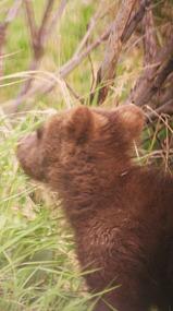 Denali Shuttle Bus--Bear baby