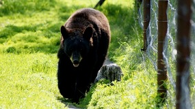 Alaska Wildlife Conservation Center-Black Bear