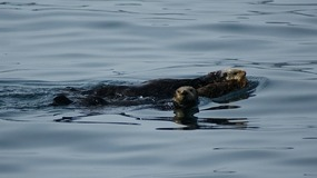 Otter & Pups - Kenai Fjords Tour