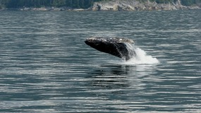 Whale Breaching--Kenai Fjords Tour
