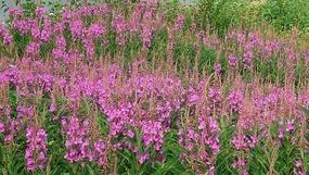 Fireweed Wildflowers
