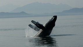 Tracy Arm Fjord - Humpback Whale Breaching
