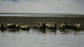 Stikine River - Harbor Seals