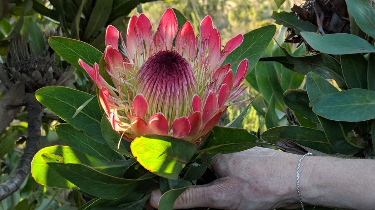 Protea in the wild!