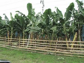 Endless banana plantations