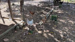 Arlindo's chickens