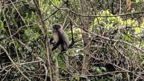 Samongo monkey