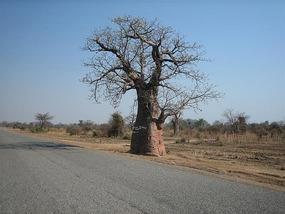 f Baobob Tree