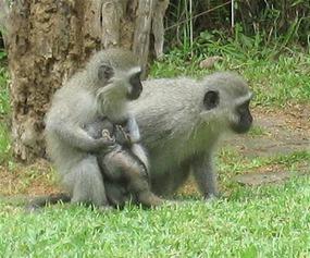 Monkeys at van Belkum's